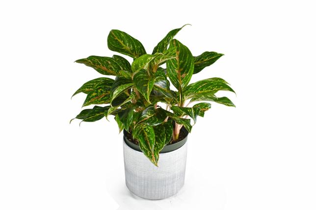 modern chinese evergreen