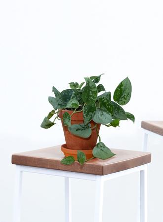 modern pothos houseplants