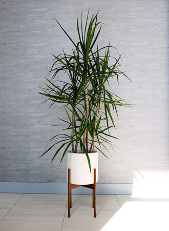 modern indoor dragon tree houseplant