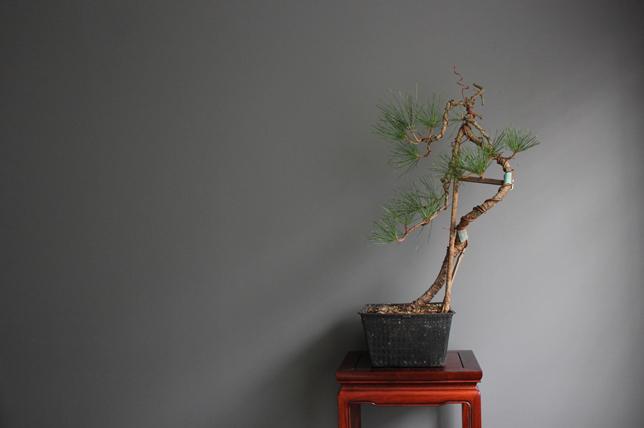 modern bonsai tree