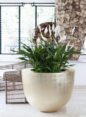 modern peace lily
