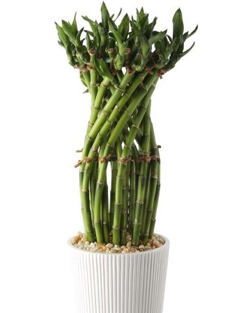 modern lucky bamboo