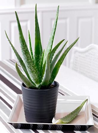 modern aloe vera houseplant