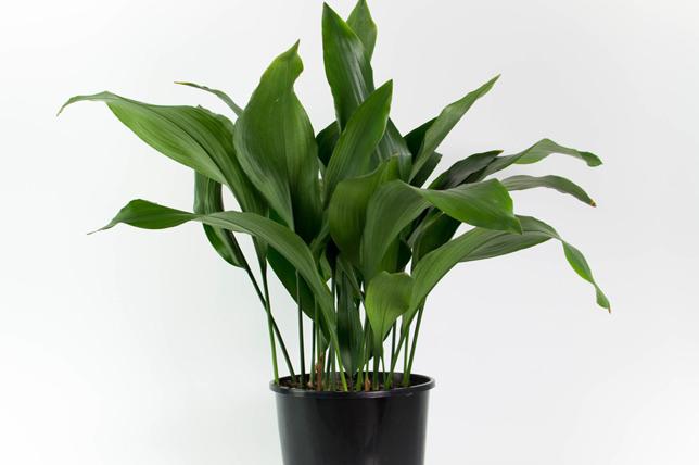 best ideas for cast iron indoor plants
