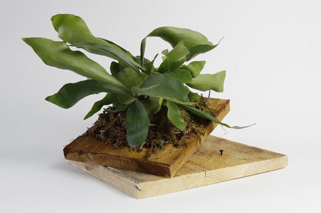 modern staghorn fern