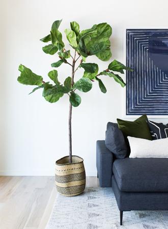 classic violin leaf fig houseplant