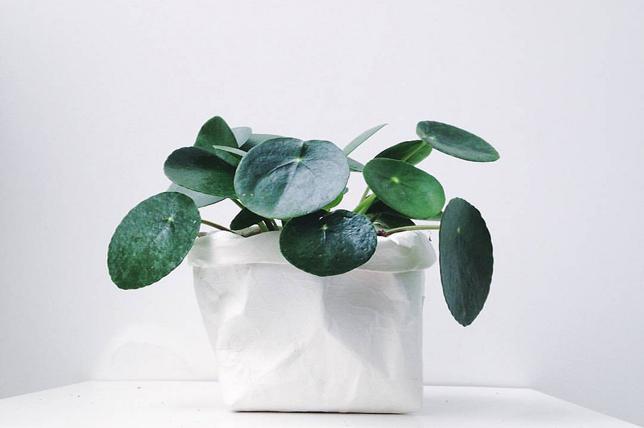 chinese money plants