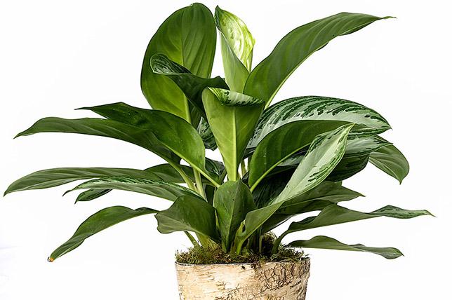 evergreen houseplants