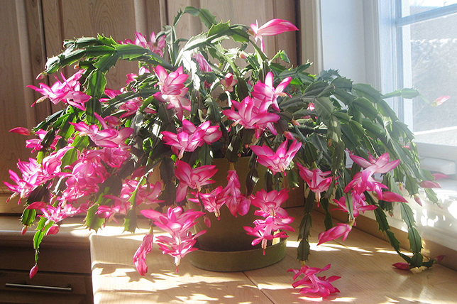 Christmas cactus house plants