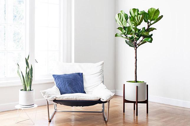 Violin leaf fig house plants