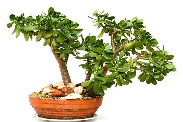 Jade houseplants