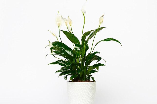 Peace Lily houseplants