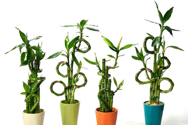 Bamboo houseplants