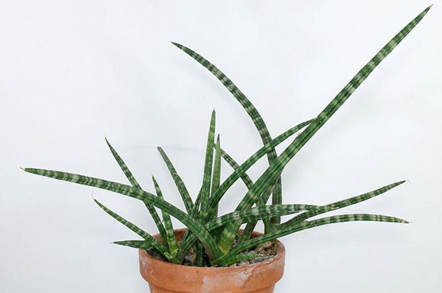 Snake houseplants