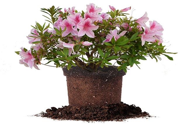 Azalea bathroom flowers