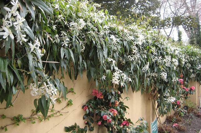 Landscaping vines