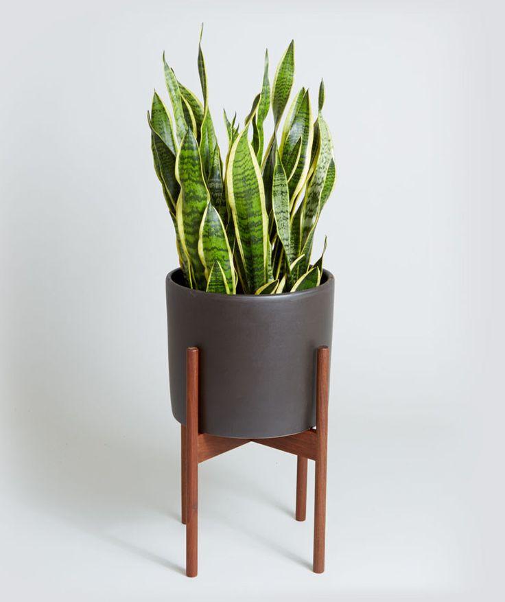 Indoor plants snake plant