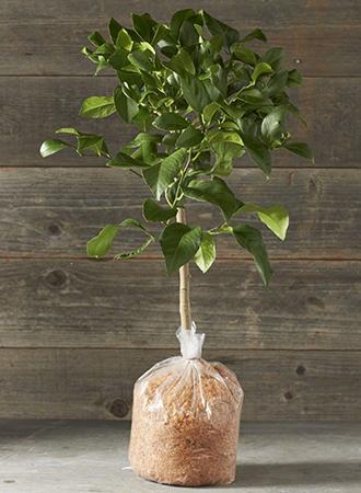 Lemon Tree Valentine's Day Gift Ideas